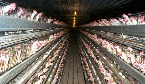 Deși o să spuneți că voi luați ouă de la țărani, aflați că cel mai mare procent din ouăle comercializate la nivel mondial provine de la găinile care trăiesc în cuști, fără lumină naturală, fără aer curat și fără spațu să-și întindă aripile